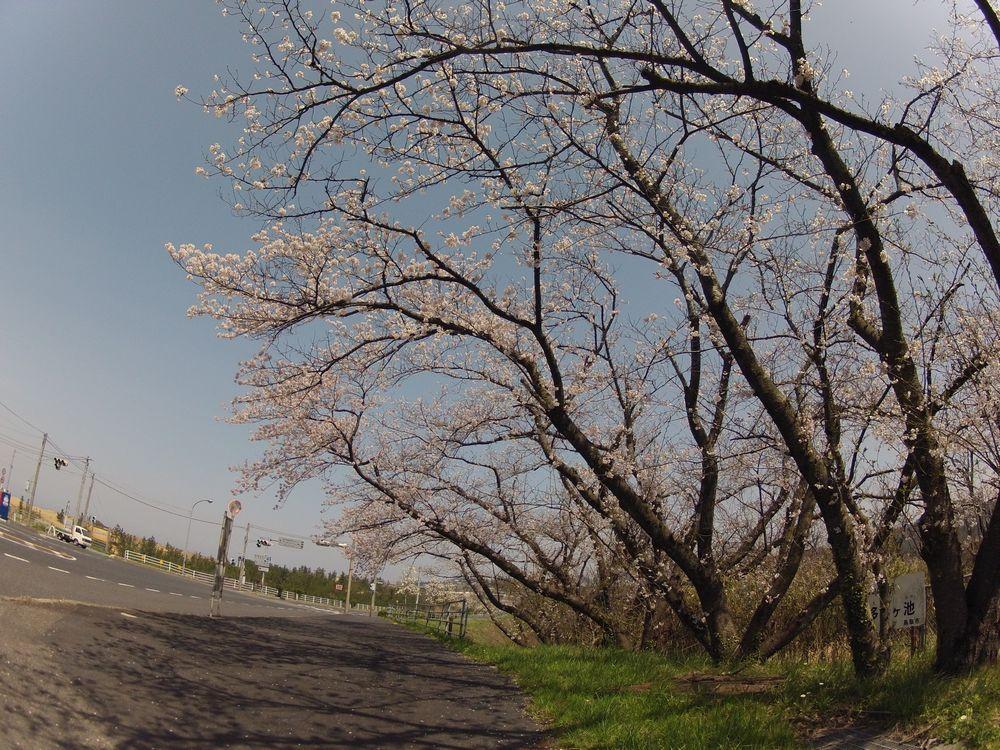 砂丘トンネルの出口のところにある桜