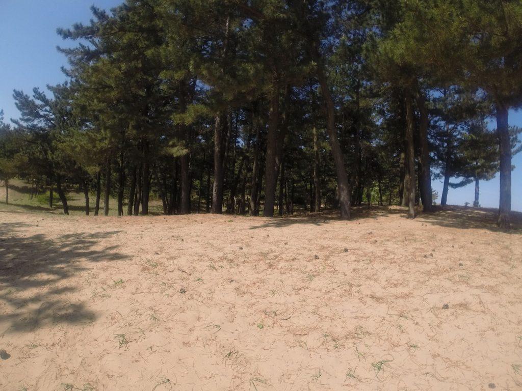 セミの声が響き渡る鳥取砂丘の松林