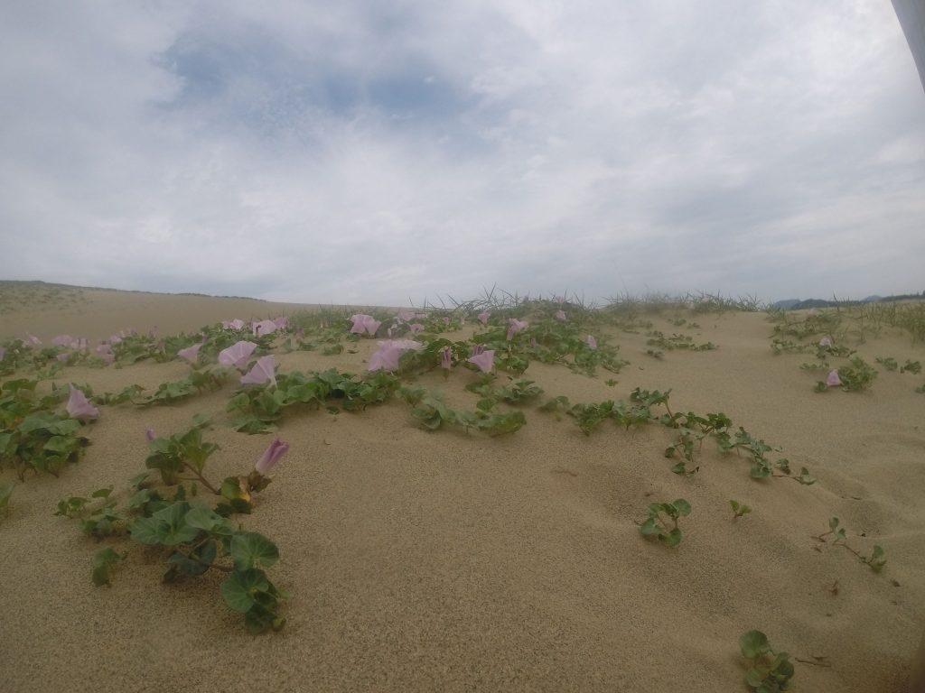 砂丘に咲く、可憐なハマヒルガオの花