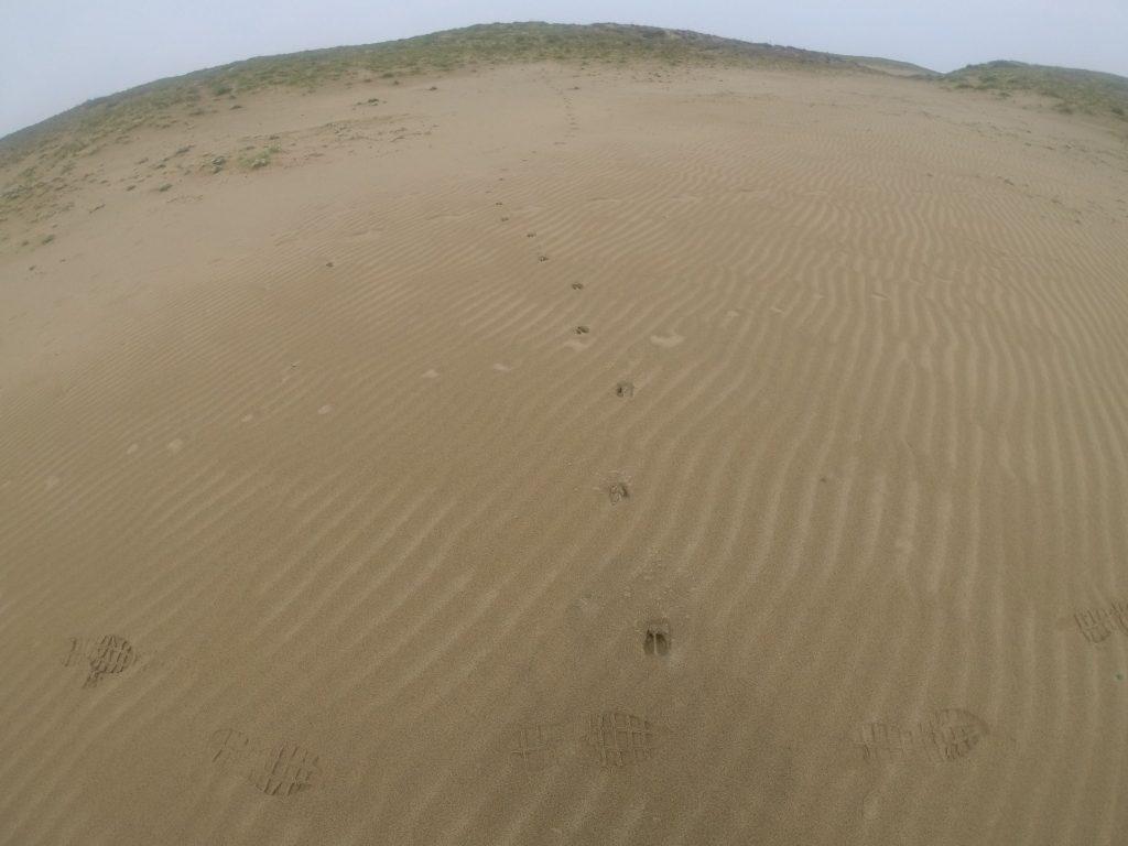 イノシシが走り回る鳥取砂丘