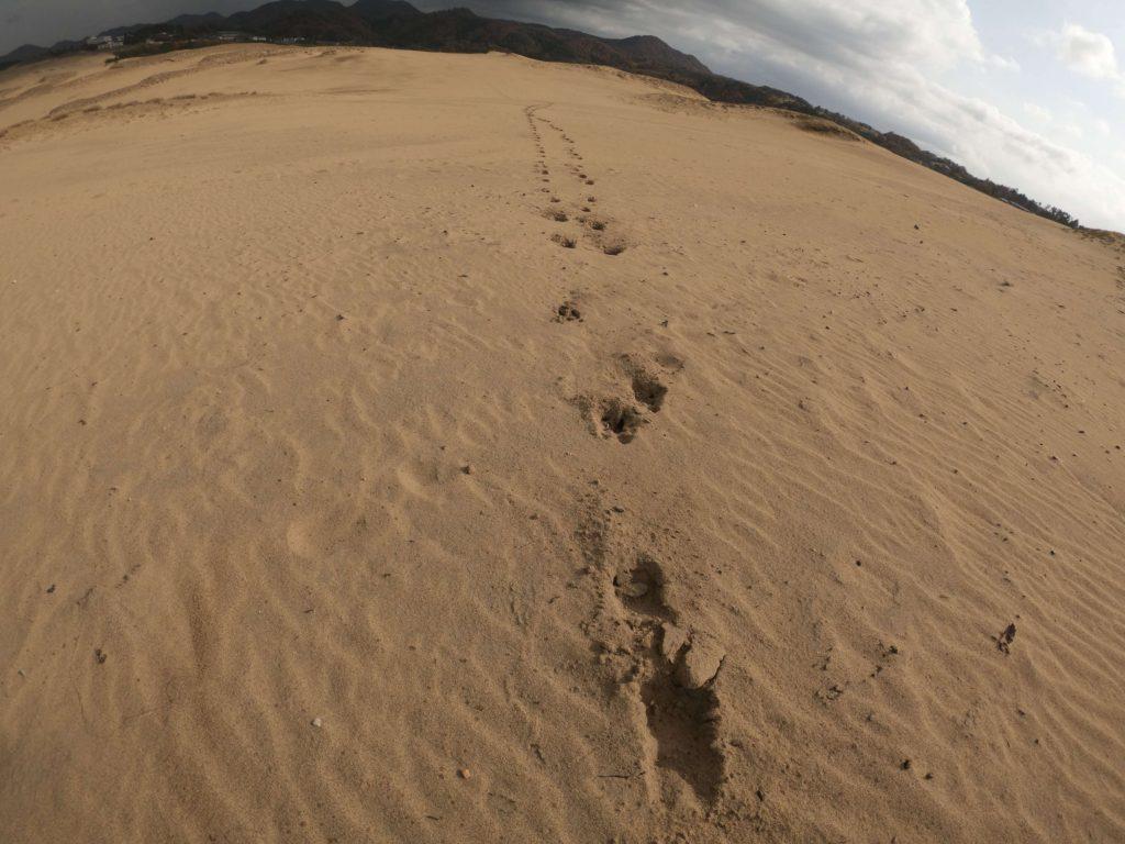 迫力満点のイノシシの足跡が見られる秋の鳥取砂丘